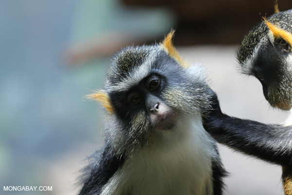 DeBrazza's monkeys (Cercopithecus neglectus) grooming