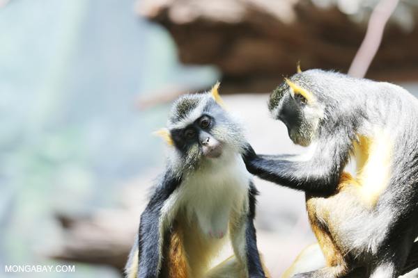 De Brazza's monkeys grooming