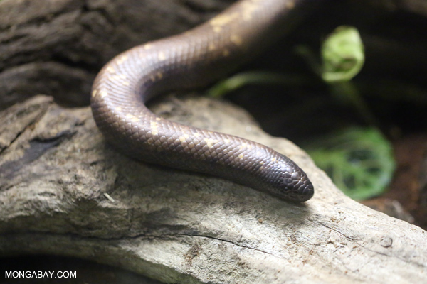 Calabar Python (Charina reinhardtii)