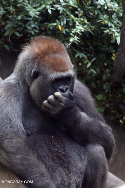 Male lowland gorilla