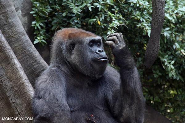 Silverback lowland gorilla