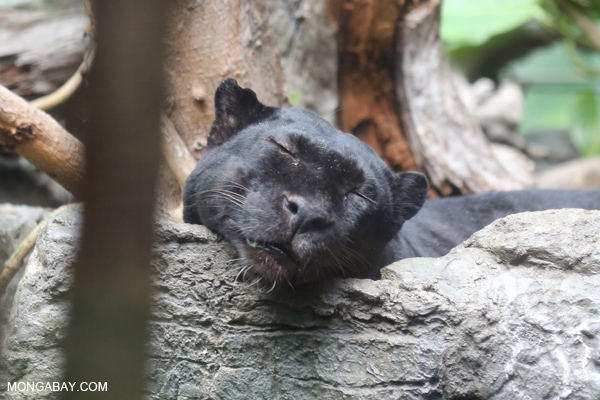 Black leopard napping