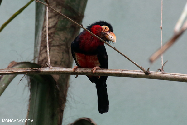 Bearded Barbet (Lybius dubius)