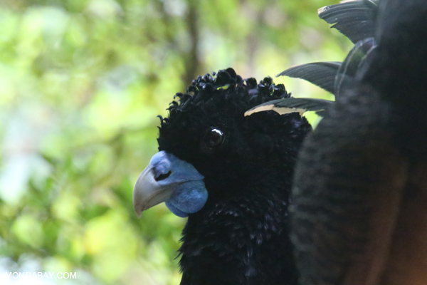 Blue-knobbed Curassow