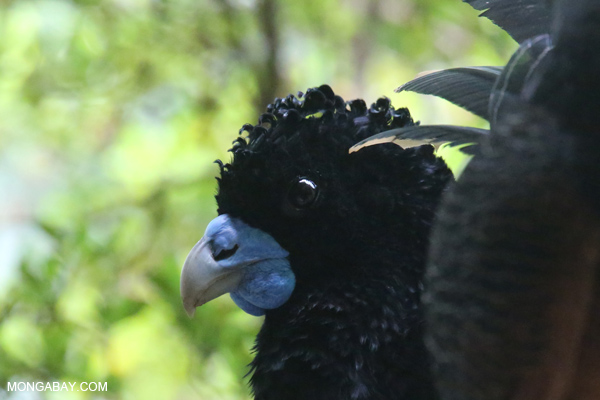 Blue-billed Curassow (Crax alberti)