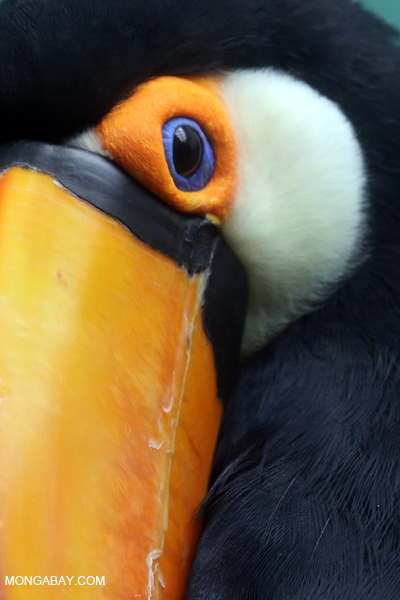 Common Toucan (Ramphastos toco)