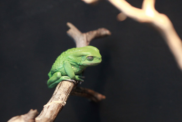 Green waxy monkey frog