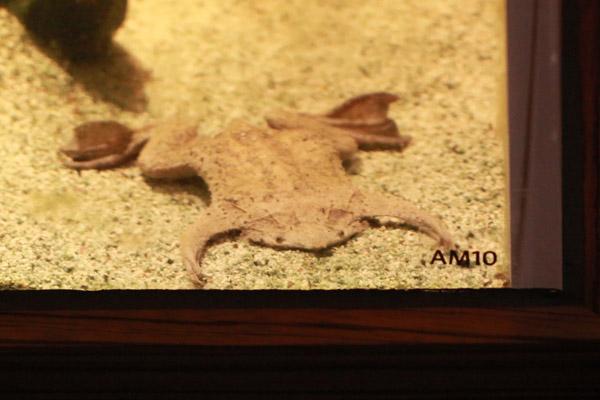 Suriname frog