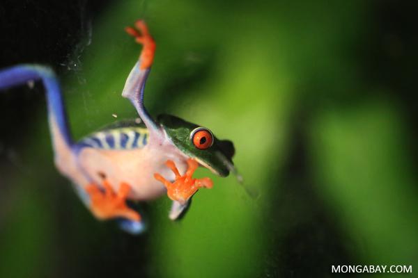 Dendrobates tinctorius 'azureus' dart frog from Suriname