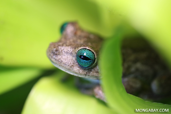 Blue-eyed Hypsiboas crepitans tree frog