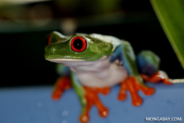 Agalychnis callidryas tree frog