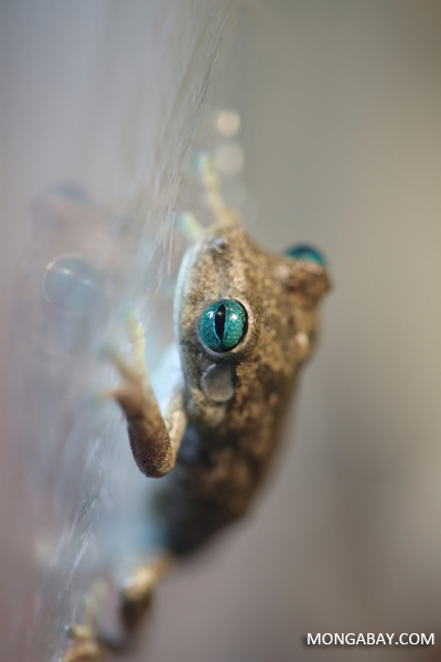 Blue-eyed Hypsiboas crepitans tree frog