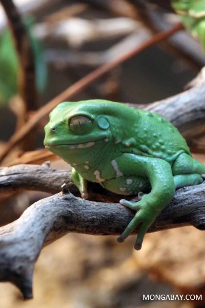 Chaco waxy frog (Phyllomedusa sauvagei)
