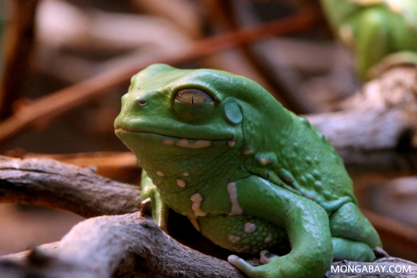 Chacoan waxy frog (Phyllomedusa sauvagei)