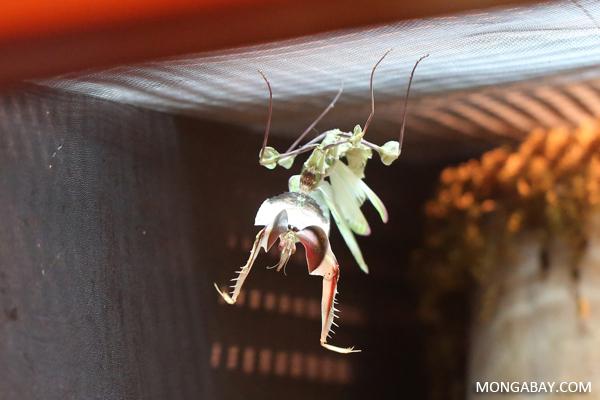 Giant devil's flower mantis (Idolomantis diabolica)