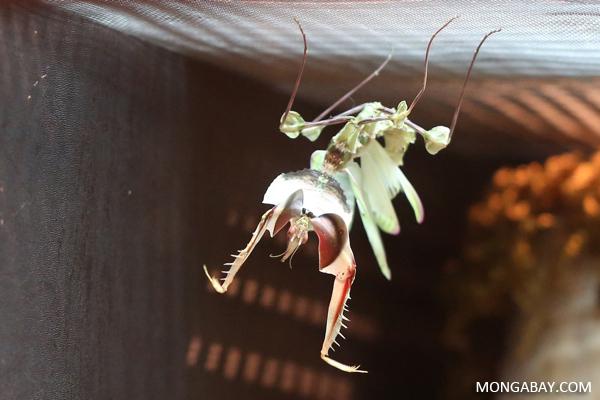 Giant devil's flower mantis