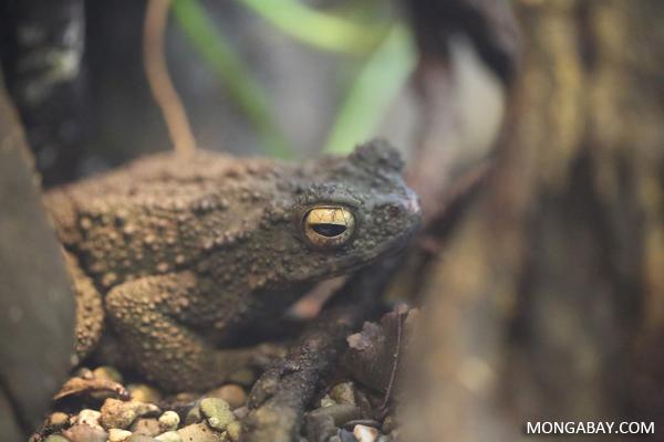Borneo river toad (Phrynoidis juxtaspera)
