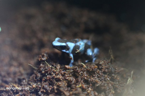 Blue form of the green-and-black poison dart frog