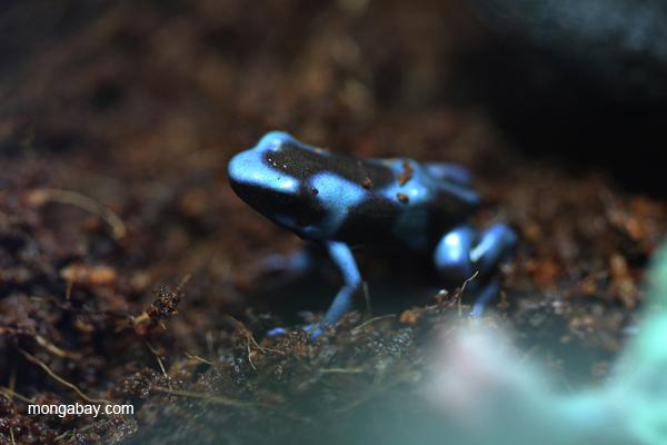 Blue color form of Dendrobates auratus dart frog