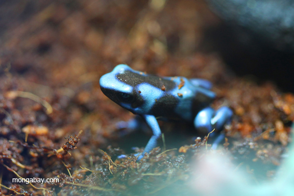 Blue color form of Dendrobates auratus