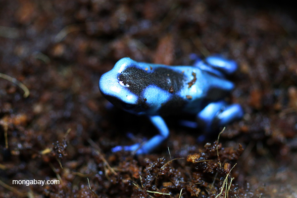 Blue green-and-black poison dart frog