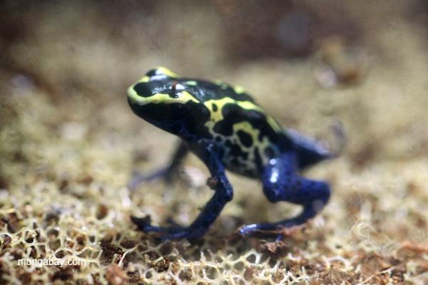Dendrobates tinctorius poison frog from the Bakhuis mountains of Suriname