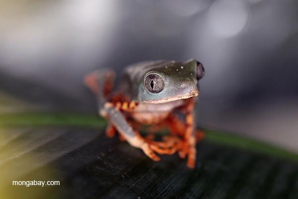 Super Tiger Leg Monkey Tree Frog (Phyllomedusa tomopterna)