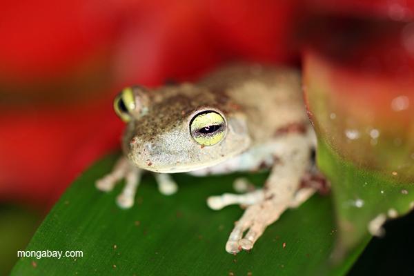 Emerald Eye Treefrog