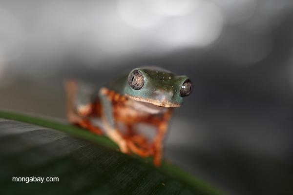 Tigerleg monkey frog (Phyllomedusa tomopterna)