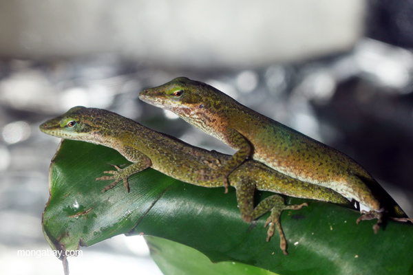 Mating green anoles