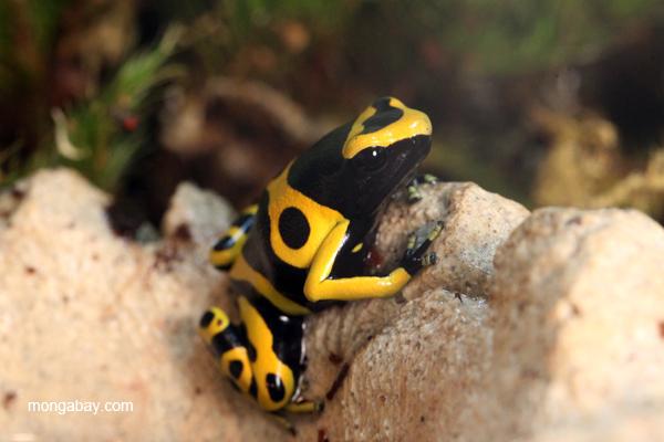 Yellow Banded Poison Arrow Frog Dendrobates Leucomelas