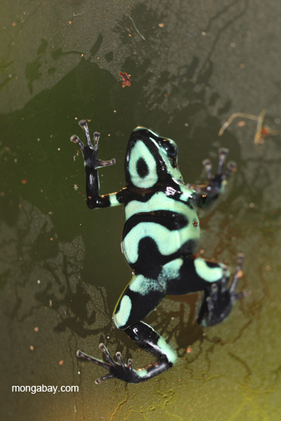 Green and black dart poison frog (Dendrobates auratus)