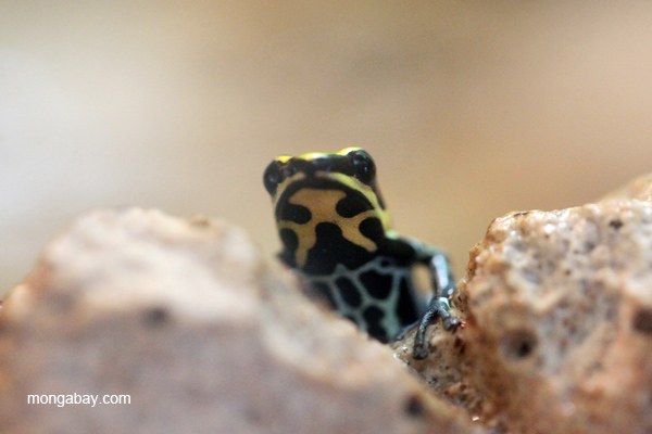 Reticulated poison frog (Ranitomeya ventrimaculata)
