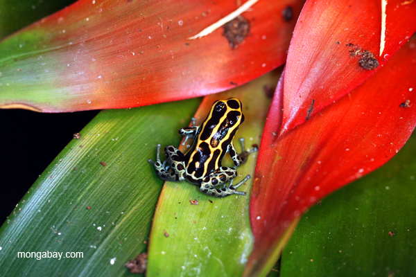 Reticulated poison dart frog