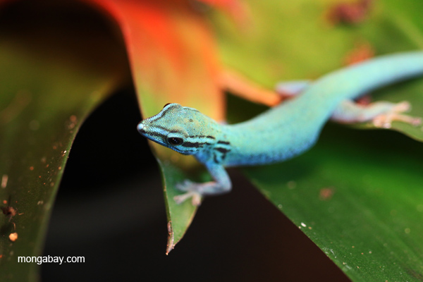 Electric Blue Gecko (Lygodactylus williamsi)