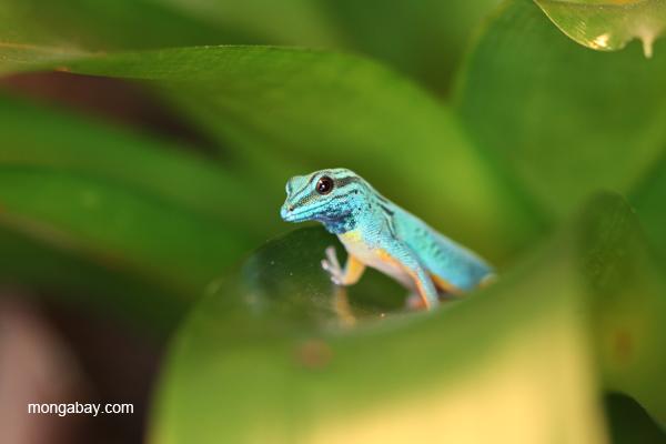 Williams Electric Blue Gecko (Lygodactylus williamsi)