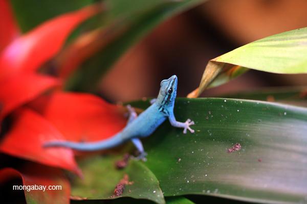 Williams Electric Blue Gecko