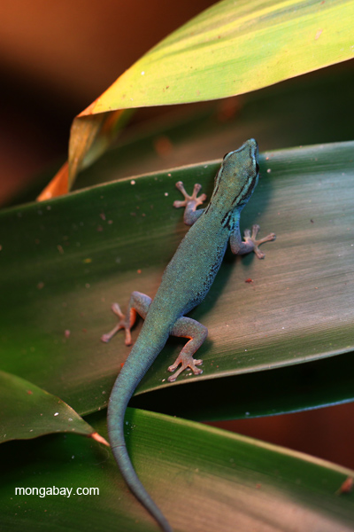 Electric Blue Gecko (Lygodactylus williamsi)