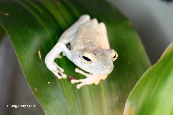 Blue-toed tree frog (Hypsiboas crepitans)