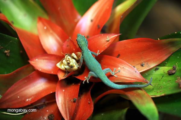 Blue Day Gecko