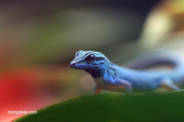 Williams Electric Blue Day Gecko (Lygodactylus williamsi)