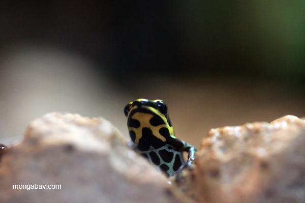 Reticulated dart poison frog (Ranitomeya ventrimaculata)