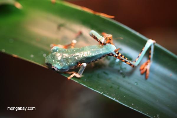 Banded monkey treefrog