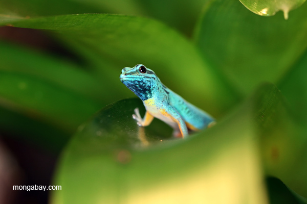 Williams Electric Blue Day Gecko