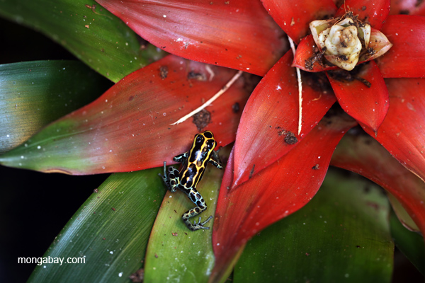 Reticulated poison arrow frog