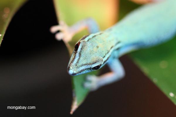 William's Dwarf Day Gecko