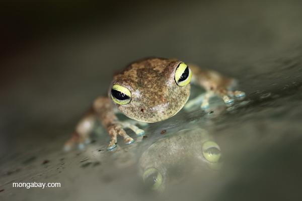 Emerald eyed Treefrog (Hypsiboas crepitans)