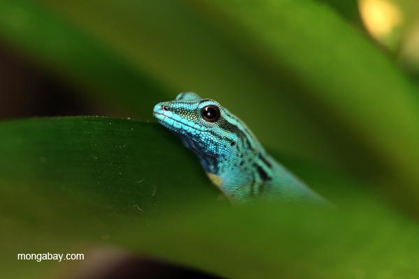 Electric Blue Day Gecko (Lygodactylus williamsi)