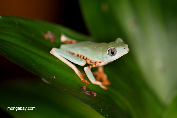 Tiger-striped treefrog