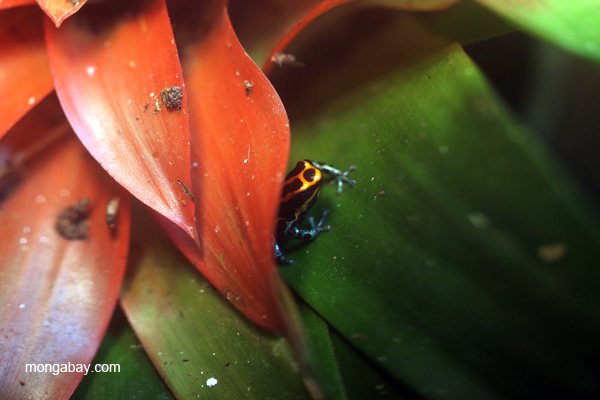 Reticulated arrow poison frog